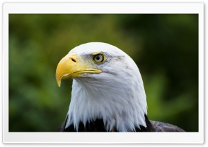 Bald Eagle Yellow Beak HD Wide Wallpaper for Widescreen