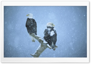 Bald Eagles In Falling Snow Kenai Peninsula Alaska HD Wide Wallpaper for 4K UHD Widescreen desktop & smartphone
