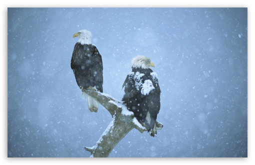Bald Eagles In Falling Snow Kenai Peninsula Alaska HD wallpaper for Wide 16:10 5:3 Widescreen WHXGA WQXGA WUXGA WXGA WGA ; HD 16:9 High Definition WQHD QWXGA 1080p 900p 720p QHD nHD ; Standard 4:3 5:4 3:2 Fullscreen UXGA XGA SVGA QSXGA SXGA DVGA HVGA HQVGA devices ( Apple PowerBook G4 iPhone 4 3G 3GS iPod Touch ) ; Tablet 1:1 ; iPad 1/2/Mini ; Mobile 4:3 5:3 3:2 16:9 5:4 - UXGA XGA SVGA WGA DVGA HVGA HQVGA devices ( Apple PowerBook G4 iPhone 4 3G 3GS iPod Touch ) WQHD QWXGA 1080p 900p 720p QHD nHD QSXGA SXGA ;