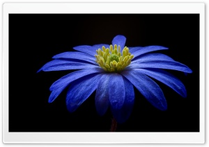 Balkan Anemone Flower HD Wide Wallpaper for Widescreen