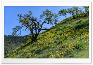 Balsamroot flowers, Tom McCall Preserve, Rowena, Oregon HD Wide Wallpaper for Widescreen