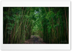 Bamboo HD Wide Wallpaper for Widescreen