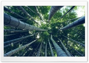 Bamboo Forest HD Wide Wallpaper for 4K UHD Widescreen desktop & smartphone