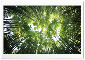 Bamboo Forest HD Wide Wallpaper for Widescreen