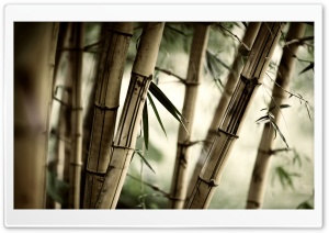 Bamboo Stalks HD Wide Wallpaper for Widescreen