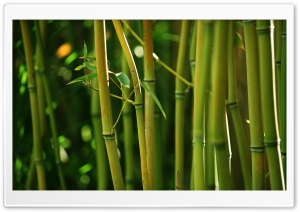 Bamboo Stems HD Wide Wallpaper for Widescreen