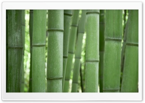 Bamboo Trees HD Wide Wallpaper for Widescreen