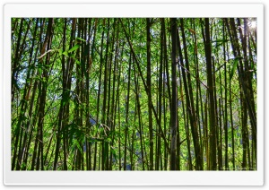 Bamboos HD Wide Wallpaper for Widescreen