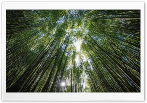 Bamboos, the Fastest growing Plants in the World HD Wide Wallpaper for Widescreen