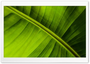 Banana Leaf HD Wide Wallpaper for Widescreen