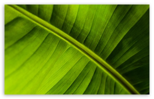 Banana Leaf ❤ 4K UHD Wallpaper for Wide 16:10 5:3 Widescreen WHXGA WQXGA WUXGA WXGA WGA ; 4K UHD 16:9 Ultra High Definition 2160p 1440p 1080p 900p 720p ; Standard 4:3 5:4 3:2 Fullscreen UXGA XGA SVGA QSXGA SXGA DVGA HVGA HQVGA ( Apple PowerBook G4 iPhone 4 3G 3GS iPod Touch ) ; Tablet 1:1 ; iPad 1/2/Mini ; Mobile 4:3 5:3 3:2 16:9 5:4 - UXGA XGA SVGA WGA DVGA HVGA HQVGA ( Apple PowerBook G4 iPhone 4 3G 3GS iPod Touch ) 2160p 1440p 1080p 900p 720p QSXGA SXGA ;