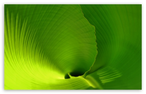 Banana Leaf Close Up ❤ 4K UHD Wallpaper for Wide 16:10 5:3 Widescreen WHXGA WQXGA WUXGA WXGA WGA ; 4K UHD 16:9 Ultra High Definition 2160p 1440p 1080p 900p 720p ; Standard 4:3 5:4 3:2 Fullscreen UXGA XGA SVGA QSXGA SXGA DVGA HVGA HQVGA ( Apple PowerBook G4 iPhone 4 3G 3GS iPod Touch ) ; Tablet 1:1 ; iPad 1/2/Mini ; Mobile 4:3 5:3 3:2 16:9 5:4 - UXGA XGA SVGA WGA DVGA HVGA HQVGA ( Apple PowerBook G4 iPhone 4 3G 3GS iPod Touch ) 2160p 1440p 1080p 900p 720p QSXGA SXGA ;