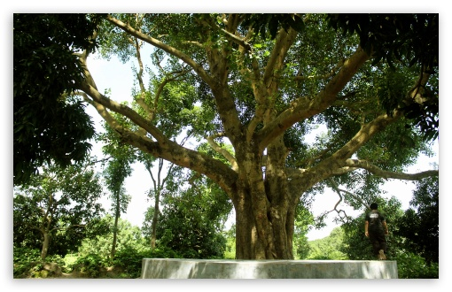 Banyan Tree From Bangladesh 4K UHD Wallpaper For Wide 1610 Widescreen WHXGA WQXGA