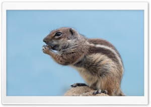 Barbary Ground Squirrel HD Wide Wallpaper for Widescreen