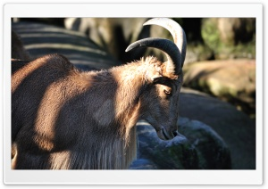 Barbary Sheep HD Wide Wallpaper for Widescreen