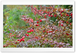 Barberry HD Wide Wallpaper for Widescreen