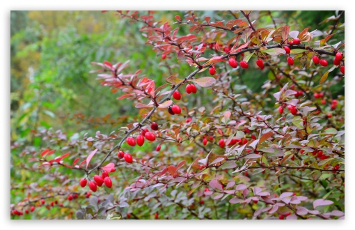 Barberry HD wallpaper for Wide 16:10 5:3 Widescreen WHXGA WQXGA WUXGA WXGA WGA ; HD 16:9 High Definition WQHD QWXGA 1080p 900p 720p QHD nHD ; Standard 4:3 5:4 3:2 Fullscreen UXGA XGA SVGA QSXGA SXGA DVGA HVGA HQVGA devices ( Apple PowerBook G4 iPhone 4 3G 3GS iPod Touch ) ; Tablet 1:1 ; iPad 1/2/Mini ; Mobile 4:3 5:3 3:2 16:9 5:4 - UXGA XGA SVGA WGA DVGA HVGA HQVGA devices ( Apple PowerBook G4 iPhone 4 3G 3GS iPod Touch ) WQHD QWXGA 1080p 900p 720p QHD nHD QSXGA SXGA ;