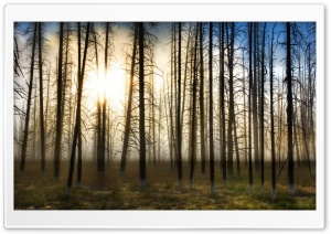 Bare Forest HD Wide Wallpaper for Widescreen