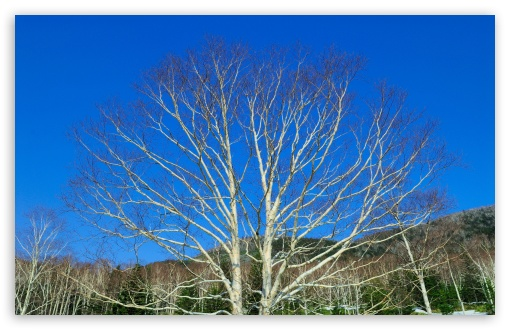 Download Bare Tree Against Blue Sky UltraHD Wallpaper