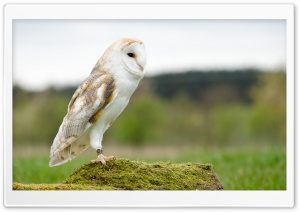 Barn Owl HD Wide Wallpaper for 4K UHD Widescreen desktop & smartphone