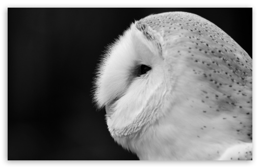 Barn Owl Black And White 4K HD Desktop Wallpaper for 4K ...