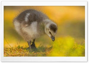 Barnacle Gosling HD Wide Wallpaper for 4K UHD Widescreen desktop & smartphone