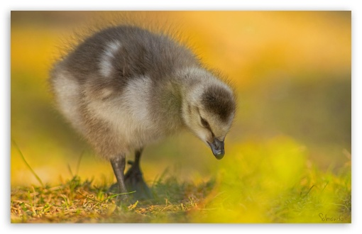 Barnacle Gosling ❤ 4K UHD Wallpaper for Wide 16:10 5:3 Widescreen WHXGA WQXGA WUXGA WXGA WGA ; 4K UHD 16:9 Ultra High Definition 2160p 1440p 1080p 900p 720p ; UHD 16:9 2160p 1440p 1080p 900p 720p ; Standard 4:3 3:2 Fullscreen UXGA XGA SVGA DVGA HVGA HQVGA ( Apple PowerBook G4 iPhone 4 3G 3GS iPod Touch ) ; Tablet 1:1 ; iPad 1/2/Mini ; Mobile 4:3 5:3 3:2 16:9 - UXGA XGA SVGA WGA DVGA HVGA HQVGA ( Apple PowerBook G4 iPhone 4 3G 3GS iPod Touch ) 2160p 1440p 1080p 900p 720p ;