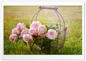 Basket of Pink Roses HD Wide Wallpaper for Widescreen