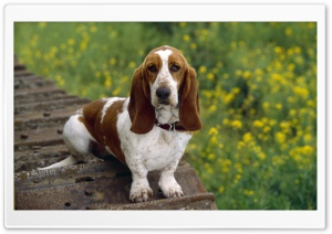 Basset Hound HD Wide Wallpaper for 4K UHD Widescreen desktop & smartphone