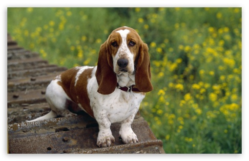 Basset Hound HD wallpaper for Wide 16:10 5:3 Widescreen WHXGA WQXGA WUXGA WXGA WGA ; HD 16:9 High Definition WQHD QWXGA 1080p 900p 720p QHD nHD ; Standard 4:3 5:4 3:2 Fullscreen UXGA XGA SVGA QSXGA SXGA DVGA HVGA HQVGA devices ( Apple PowerBook G4 iPhone 4 3G 3GS iPod Touch ) ; Tablet 1:1 ; iPad 1/2/Mini ; Mobile 4:3 5:3 3:2 5:4 - UXGA XGA SVGA WGA DVGA HVGA HQVGA devices ( Apple PowerBook G4 iPhone 4 3G 3GS iPod Touch ) QSXGA SXGA ;