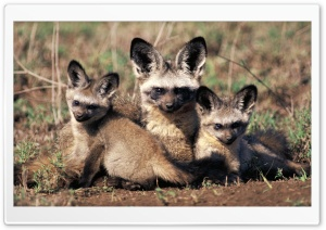 Bat Eared Fox Otocyon Megalotis Mother And Pups Africa HD Wide Wallpaper for Widescreen