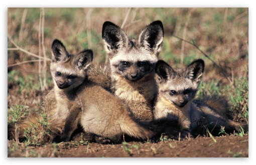 Bat Eared Fox Otocyon Megalotis Mother And Pups Africa HD wallpaper for Wide 16:10 5:3 Widescreen WHXGA WQXGA WUXGA WXGA WGA ; HD 16:9 High Definition WQHD QWXGA 1080p 900p 720p QHD nHD ; Mobile 5:3 16:9 - WGA WQHD QWXGA 1080p 900p 720p QHD nHD ;