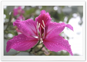 Bauhinia, Orchid Tree Flower HD Wide Wallpaper for 4K UHD Widescreen desktop & smartphone