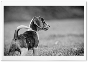 Beagle HD Wide Wallpaper for Widescreen