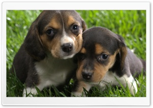 Beagle Puppies HD Wide Wallpaper for Widescreen