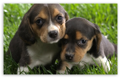 Beagle Puppies UltraHD Wallpaper for Wide 16:10 5:3 Widescreen WHXGA WQXGA WUXGA WXGA WGA ; 8K UHD TV 16:9 Ultra High Definition 2160p 1440p 1080p 900p 720p ; Standard 3:2 Fullscreen DVGA HVGA HQVGA ( Apple PowerBook G4 iPhone 4 3G 3GS iPod Touch ) ; Mobile 5:3 3:2 16:9 - WGA DVGA HVGA HQVGA ( Apple PowerBook G4 iPhone 4 3G 3GS iPod Touch ) 2160p 1440p 1080p 900p 720p ;