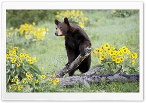 Bear Ultra HD Wallpaper for 4K UHD Widescreen desktop, tablet & smartphone