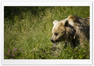 Bear HD Wide Wallpaper for Widescreen