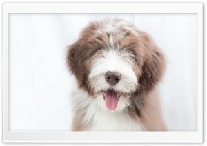 Bearded Collie Puppy, Dog Ultra HD Wallpaper for 4K UHD Widescreen desktop, tablet & smartphone