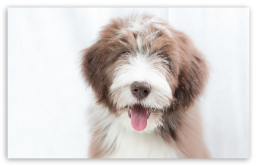 Bearded Collie Puppy, Dog ❤ 4K UHD Wallpaper for Wide 16:10 5:3 Widescreen WHXGA WQXGA WUXGA WXGA WGA ; 4K UHD 16:9 Ultra High Definition 2160p 1440p 1080p 900p 720p ; UHD 16:9 2160p 1440p 1080p 900p 720p ; Standard 4:3 5:4 3:2 Fullscreen UXGA XGA SVGA QSXGA SXGA DVGA HVGA HQVGA ( Apple PowerBook G4 iPhone 4 3G 3GS iPod Touch ) ; Smartphone 16:9 3:2 5:3 2160p 1440p 1080p 900p 720p DVGA HVGA HQVGA ( Apple PowerBook G4 iPhone 4 3G 3GS iPod Touch ) WGA ; Tablet 1:1 ; iPad 1/2/Mini ; Mobile 4:3 5:3 3:2 16:9 5:4 - UXGA XGA SVGA WGA DVGA HVGA HQVGA ( Apple PowerBook G4 iPhone 4 3G 3GS iPod Touch ) 2160p 1440p 1080p 900p 720p QSXGA SXGA ;