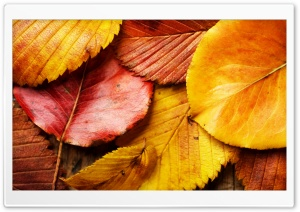 Beautiful Autumn Leaves HD Wide Wallpaper for Widescreen