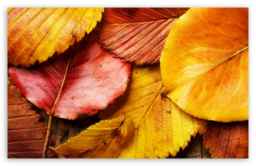 Beautiful Autumn Leaves HD wallpaper for Wide 16:10 5:3 Widescreen WHXGA WQXGA WUXGA WXGA WGA ; HD 16:9 High Definition WQHD QWXGA 1080p 900p 720p QHD nHD ; Standard 4:3 5:4 3:2 Fullscreen UXGA XGA SVGA QSXGA SXGA DVGA HVGA HQVGA devices ( Apple PowerBook G4 iPhone 4 3G 3GS iPod Touch ) ; Tablet 1:1 ; iPad 1/2/Mini ; Mobile 4:3 5:3 3:2 16:9 5:4 - UXGA XGA SVGA WGA DVGA HVGA HQVGA devices ( Apple PowerBook G4 iPhone 4 3G 3GS iPod Touch ) WQHD QWXGA 1080p 900p 720p QHD nHD QSXGA SXGA ;