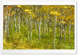 Beautiful Birch Forest HD Wide Wallpaper for Widescreen