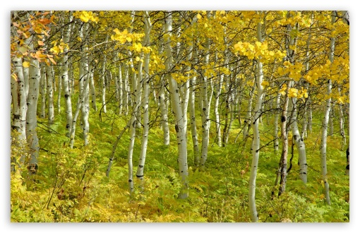 Beautiful Birch Forest HD wallpaper for Wide 16:10 5:3 Widescreen WHXGA WQXGA WUXGA WXGA WGA ; HD 16:9 High Definition WQHD QWXGA 1080p 900p 720p QHD nHD ; UHD 16:9 WQHD QWXGA 1080p 900p 720p QHD nHD ; Standard 4:3 5:4 3:2 Fullscreen UXGA XGA SVGA QSXGA SXGA DVGA HVGA HQVGA devices ( Apple PowerBook G4 iPhone 4 3G 3GS iPod Touch ) ; Tablet 1:1 ; iPad 1/2/Mini ; Mobile 4:3 5:3 3:2 16:9 5:4 - UXGA XGA SVGA WGA DVGA HVGA HQVGA devices ( Apple PowerBook G4 iPhone 4 3G 3GS iPod Touch ) WQHD QWXGA 1080p 900p 720p QHD nHD QSXGA SXGA ;