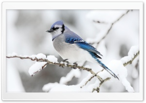Beautiful Bird Winter HD Wide Wallpaper for Widescreen