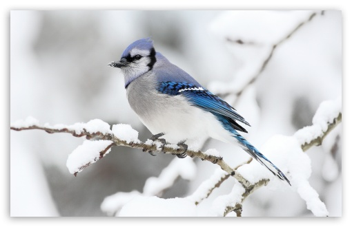 Beautiful Bird Winter UltraHD Wallpaper for Wide 16:10 5:3 Widescreen WHXGA WQXGA WUXGA WXGA WGA ; 8K UHD TV 16:9 Ultra High Definition 2160p 1440p 1080p 900p 720p ; Standard 4:3 5:4 3:2 Fullscreen UXGA XGA SVGA QSXGA SXGA DVGA HVGA HQVGA ( Apple PowerBook G4 iPhone 4 3G 3GS iPod Touch ) ; Tablet 1:1 ; iPad 1/2/Mini ; Mobile 4:3 5:3 3:2 16:9 5:4 - UXGA XGA SVGA WGA DVGA HVGA HQVGA ( Apple PowerBook G4 iPhone 4 3G 3GS iPod Touch ) 2160p 1440p 1080p 900p 720p QSXGA SXGA ;