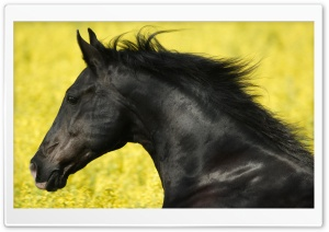 Beautiful Black Horse HD Wide Wallpaper for Widescreen