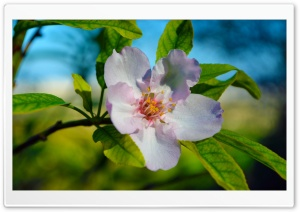 Beautiful Blossom Macro HD Wide Wallpaper for Widescreen