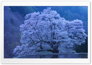 Beautiful Blossomed Tree HD Wide Wallpaper for Widescreen