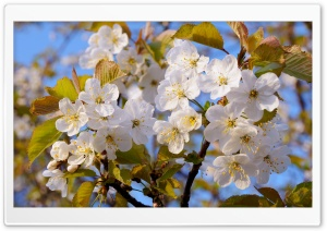 Beautiful Blossoms HD Wide Wallpaper for Widescreen
